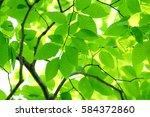 leaves of fresh green. leaves... | Shutterstock . vector #584372860