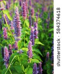 Small photo of Blossom of giant Anise hyssop (Agastache foeniculum) in a summer garden.