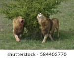After Fighting. Two Lions With...
