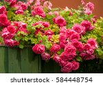 Stock photo pink roses with buds on a background of a green bush pink roses after rain 584448754