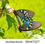 Two Green Swallowtails Mating...