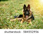 dog german shepherd lying on... | Shutterstock . vector #584552956
