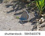 Small photo of Lysandra butterfly sitting on the ground