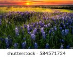 texas pasture filled with... | Shutterstock . vector #584571724