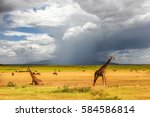 african giraffes on the... | Shutterstock . vector #584586814