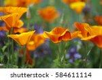 Orange California Poppies Bloo...