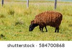 Black Sheep Walking On Grass...