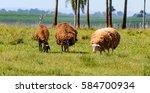 Three Sheep Feeding On Farm...