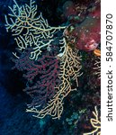 Small photo of Beautiful Gorgonian Alcyonacea in big depth in croatian sea.