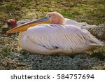 Great White Pelican  Pelecanus...