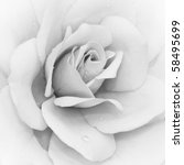 Stock photo iceberg rose rosa floribunda in black white 58495699