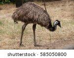 emu  dromaius novaehollandiae . ... | Shutterstock . vector #585050800