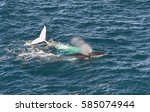 humpback whales  sydney...   Shutterstock . vector #585074944
