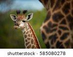 South African Giraffe  Giraffa...