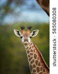 south african giraffe  giraffa... | Shutterstock . vector #585080308
