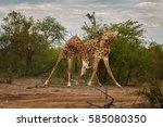 south african giraffe  giraffa... | Shutterstock . vector #585080350