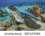 Sea Turtle  Cocos Island  ...