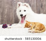 Stock photo berger blanc suisse puppy and kitten fluffy carpet 585130006