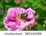 Rose Chafer  Cetonia Aurata  O...