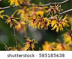 Japanese Witch Hazel Blossoms...