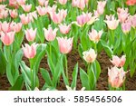 pink tulips flower blooming... | Shutterstock . vector #585456506