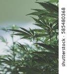 medical marijuana plants in a