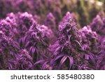 Large Flowering Purple Cannabi...