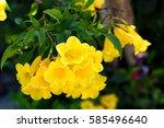 Small photo of Yellow allamanda Flower