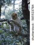 barbary macaque  macaca... | Shutterstock . vector #585523784