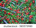 Cotoneaster Horizontalis Plant...