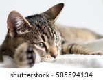 gray tabby young cat resting on ...   Shutterstock . vector #585594134