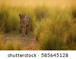 tiger in a beautiful golden... | Shutterstock . vector #585645128
