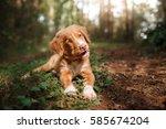 Stock photo red puppy nova scotia duck tolling retriever in nature cute 585674204