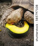 Small photo of Close up African spurred tortoise eating pumpkin ,in the garden, Slow life ,Tortoise sunbathe on ground with his protective shell ,Beautiful African Spurred Tortoise ,Geochelone sulcata