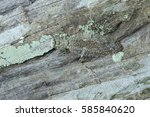 a bark mantis camouflage on... | Shutterstock . vector #585840620