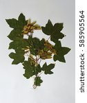 Small photo of A herbarium sheet with Acer campestre, the Field maple or Hedge maple, from the family Sapindaceae