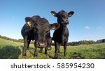 Small photo of Three friendly young cute curious Aberdeen Angus black meat cows looking into camera and smelling camera standing close together on green grass field with crisp sunny blue sky summer season 4k quality