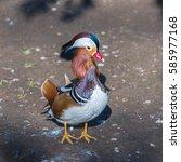 Small photo of Mandarin duck, Aix galericulata