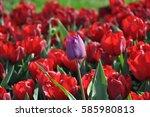 tulips | Shutterstock . vector #585980813