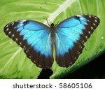 Peleides Blue Morpho Butterfly  ...