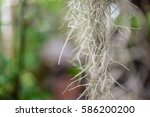 air roots of a tree with blur... | Shutterstock . vector #586200200