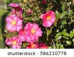 sasanqua flowers   Shutterstock . vector #586210778