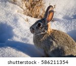 Cottontail Rabbit In Snow