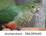 "Small photo of King Parrot "" Alisterus "" Australian native bird"