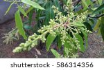mango flower | Shutterstock . vector #586314356