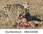 Cheetah eating thomson's gazelle, Serengeti, Tanzania - stock photo
