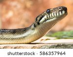 Small photo of Amethystine python (Morelia amethistina) head and neck raised. Large snake in family Pythonidae, found in Indonesia, Papua New Guinea and Australia