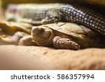 Small photo of African pancake tortoise (Malacochersus tornieri). Flat-shelled tortoise in the family Testudinidae, native to Tanzania and Kenya, showing flattened carapace