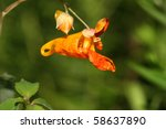 Orange Jewelweed Touch Me Not