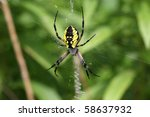 Black   Yellow Garden Spider...